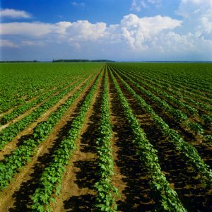 Mississippi, USA --- Cotton Field --- Image by © Bill Barksdale/Corbis